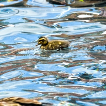 Australia - Little-Duck-in-Sydney